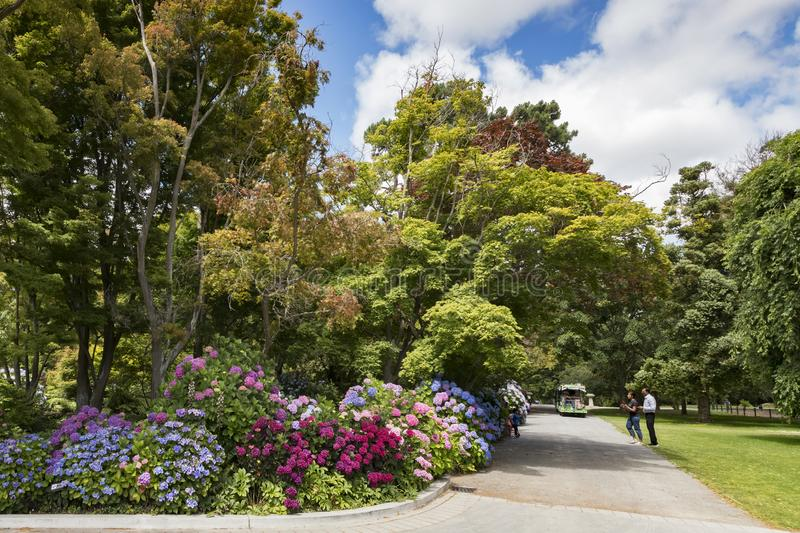 Hydrangeas in Christchurch Botanic Gardens, New Zealand. 8 January 2019: Christchurch, New Zealand - Tourists taking photos at the colourful hydrangeas in the stock photos