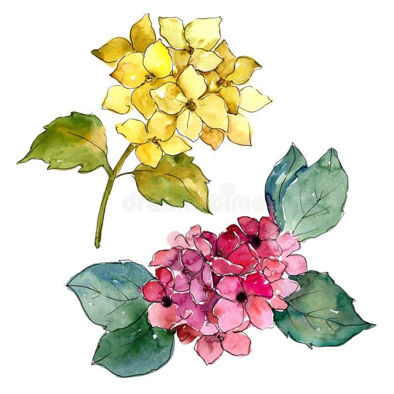 Hydrangeas coloridos Flor botânica floral Elemento isolado da ilustração ilustração stock