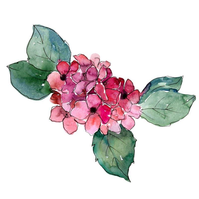 Hydrangeas cor-de-rosa Flor botânica floral Wildflower selvagem da folha da mola isolado ilustração stock