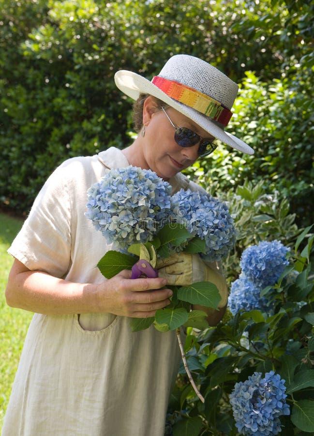 Hydrangeas di raccolto nel Gard fotografie stock libere da diritti