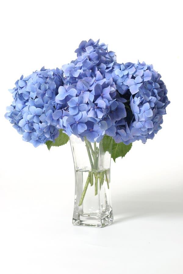 Hydrangeas en florero fotografía de archivo libre de regalías