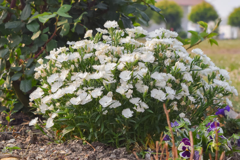 Hydrangeas flowers on a spring morning in Chaukori hill station of Uttrakhand. Hydrangeas are popular ornamental plants, grown for their large flower heads royalty free stock photo