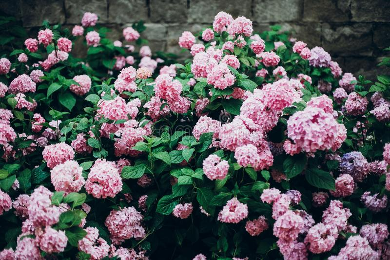 hydrangeas grote mooie hydrangea hortensia roze struik, verbazende bloemen binnen royalty-vrije stock fotografie