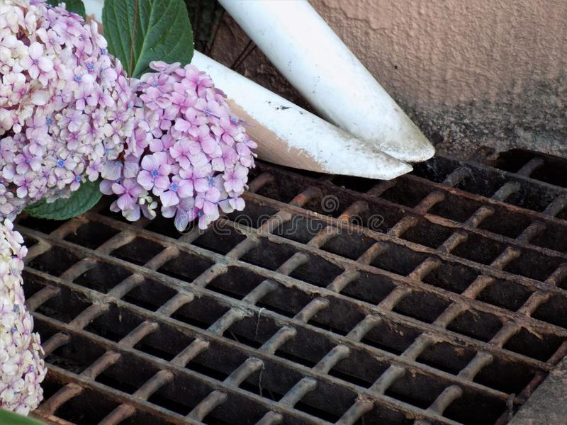 Hydrangeas growing on a drain grate stock images