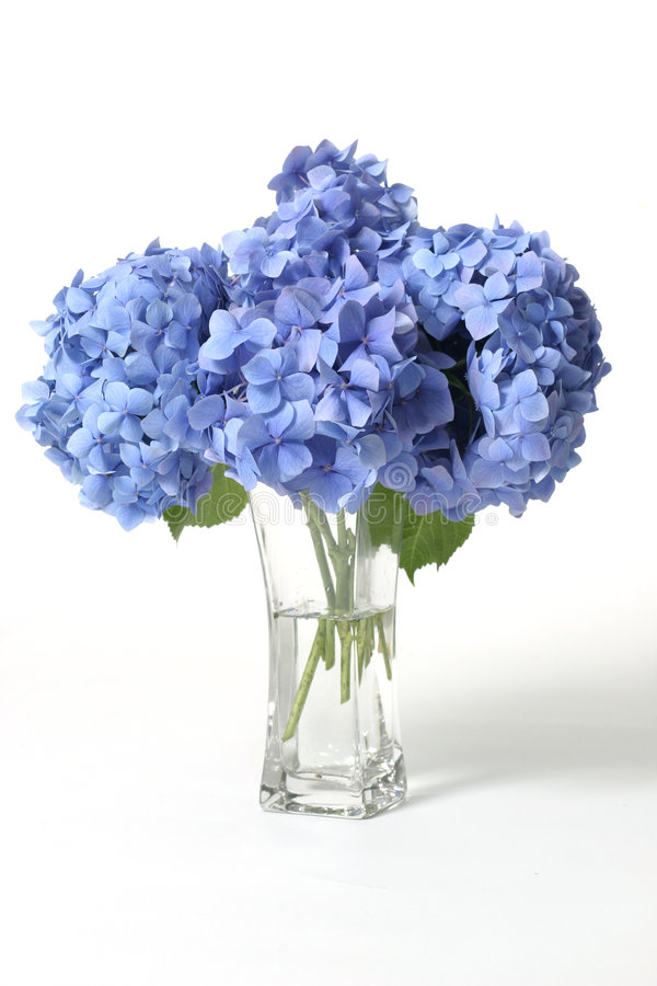 Hydrangeas im Vase lizenzfreie stockfotografie