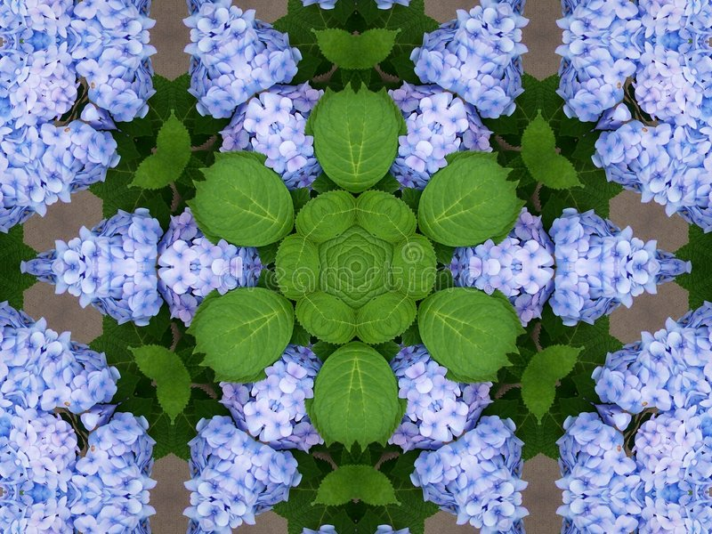 Hydrangeas kaleidoscope stock photo