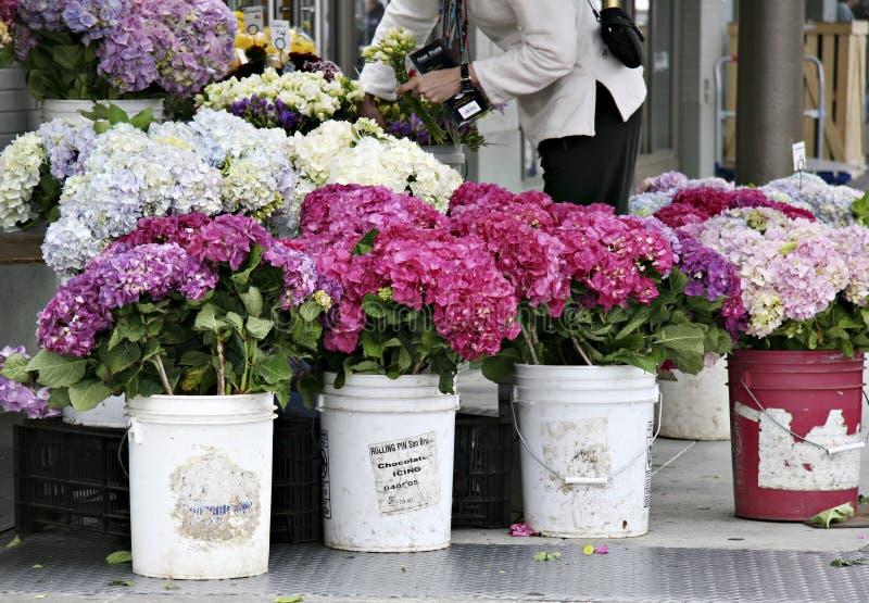 Hydrangeas no mercado dos fazendeiros imagens de stock royalty free