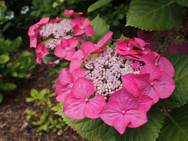 Hydrangeas rosados fotos de archivo
