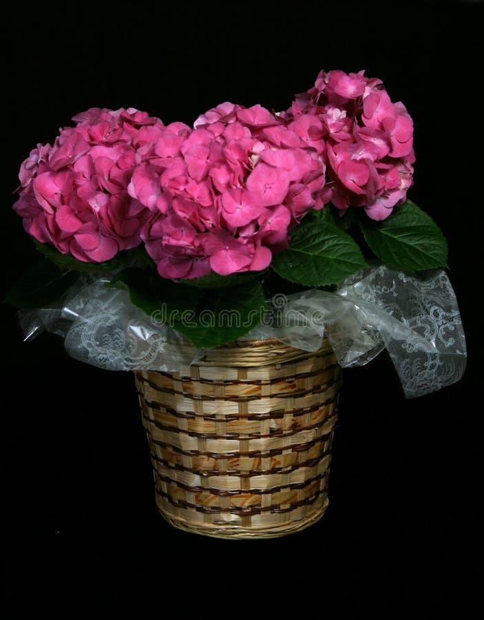 Hydrangeas in un cestino fotografie stock