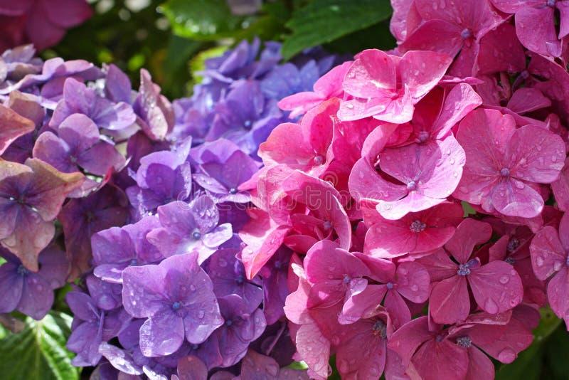 Hydranges bonitos no jardim imagem de stock