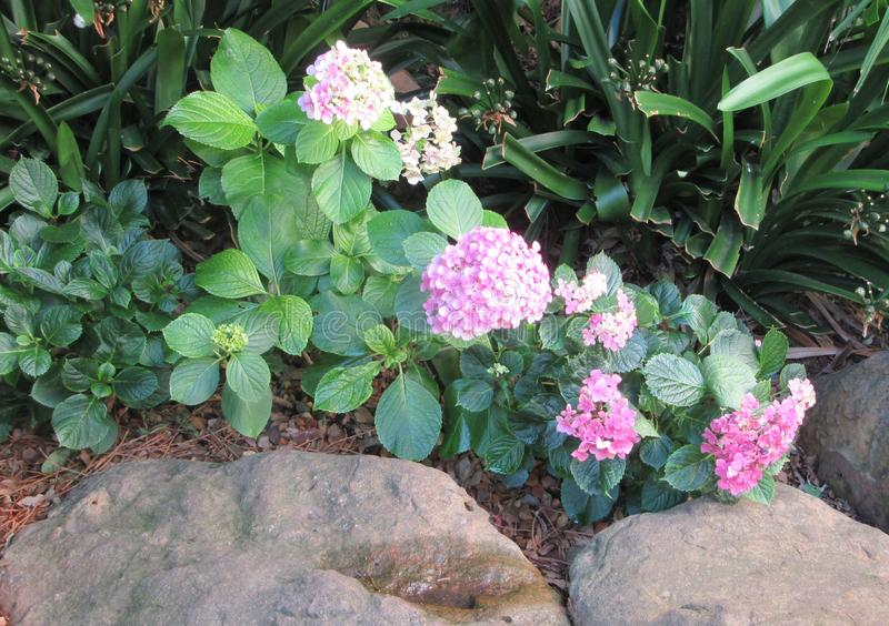 Hydrangia royaltyfria bilder