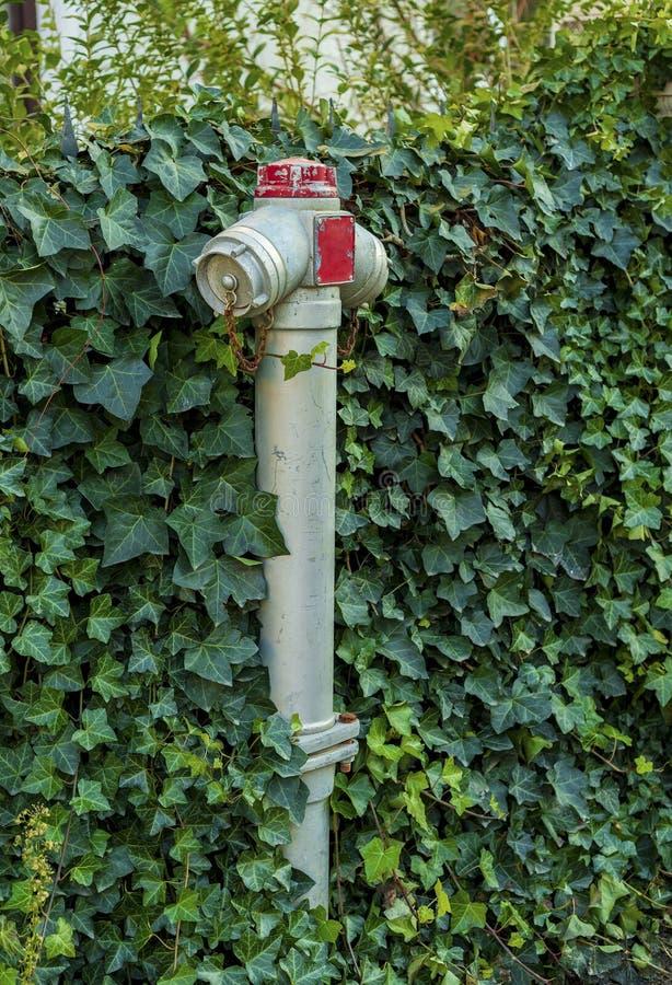 Hydrant bedeckt im Efeu lizenzfreie stockbilder