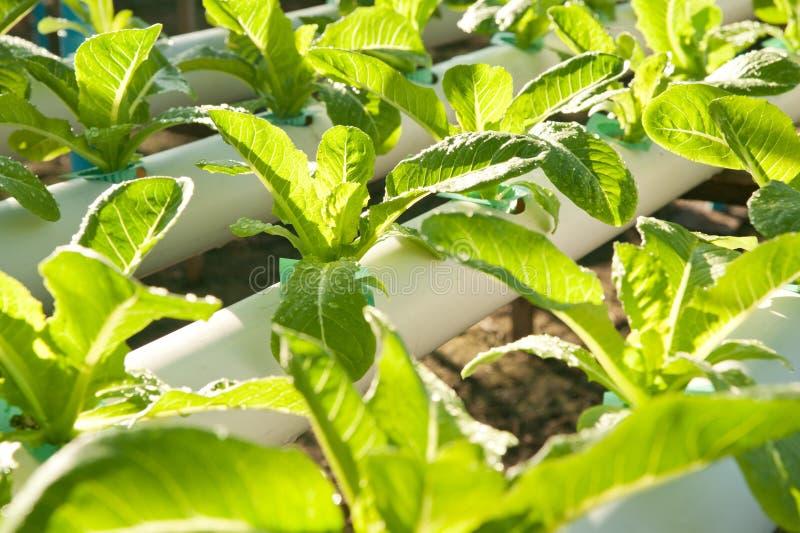Hydro-ljud- koloni, organiska grönsaker. arkivbilder