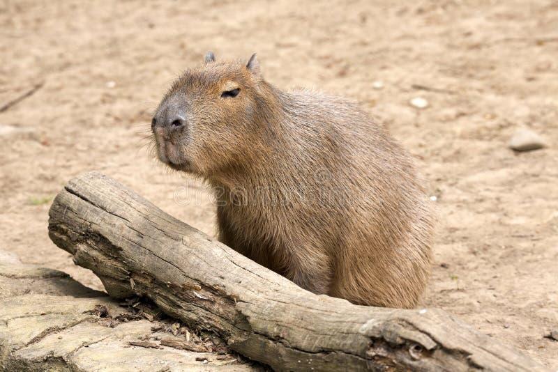 Hydrochaeris Capybara, το μεγαλύτερο τρωκτικό Hydrochoerus στοκ φωτογραφία