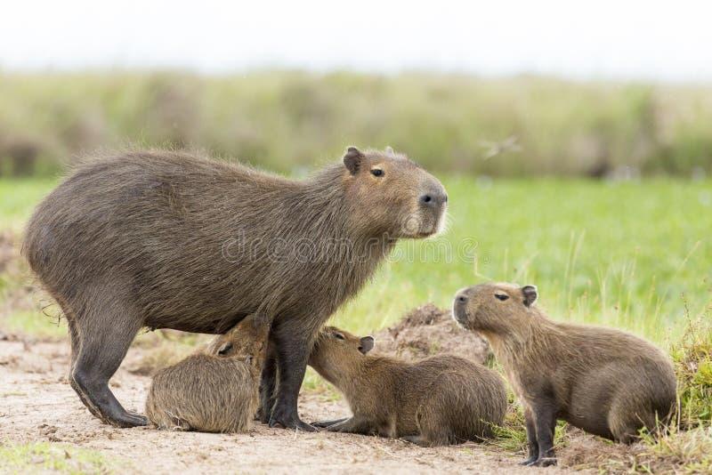 Hydrochaeris de Hydrochaeris del Capybara fotos de archivo libres de regalías