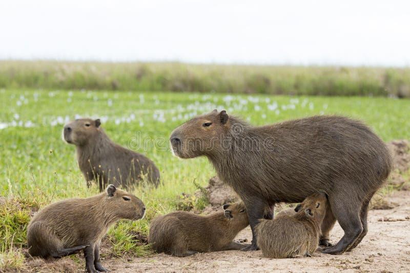Hydrochaeris de Hydrochaeris del Capybara imagen de archivo libre de regalías