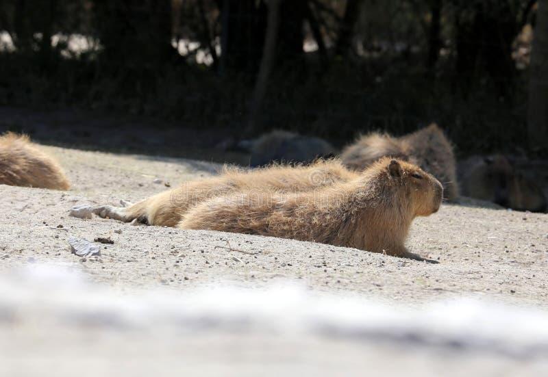 Hydrochaeris del Capybara o del Hydrochoerus foto de archivo libre de regalías