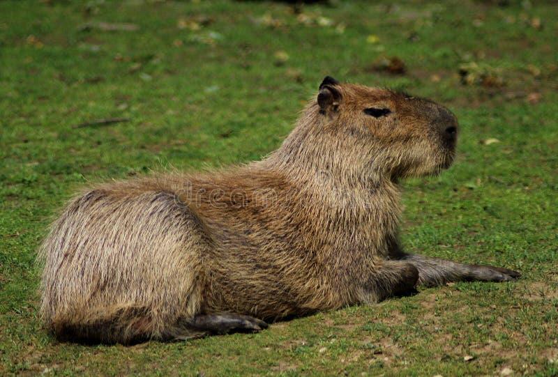 Hydrochaeris del Hydrochoerus del Capybara en el PARQUE ZOOLÓGICO fotos de archivo
