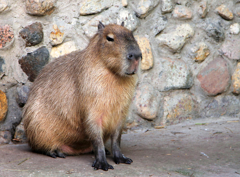 Hydrochaeris del hydrochoerus del Capybara foto de archivo libre de regalías