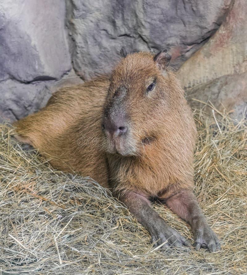 Hydrochaeris del Hydrochoerus del retrato del Capybara foto de archivo libre de regalías