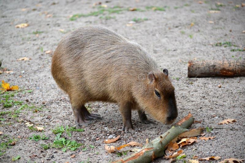 Hydrochaeris Linnaeus del Hydrochoerus del cerdo del agua del Capybara imágenes de archivo libres de regalías