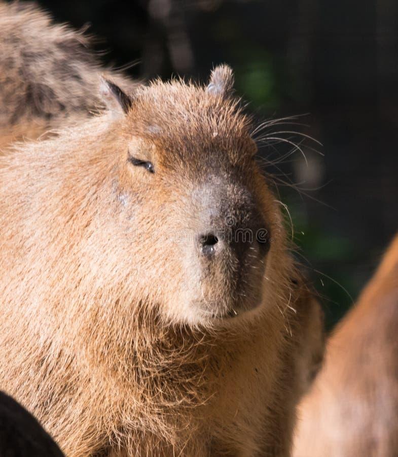 Hydrochaeris o Capybara del Hydrochoerus foto de archivo