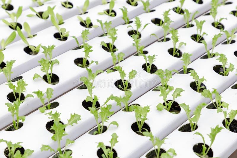 Hydrocultuurserre Organische groene groentensalade in hydrocultuurlandbouwbedrijf stock foto's