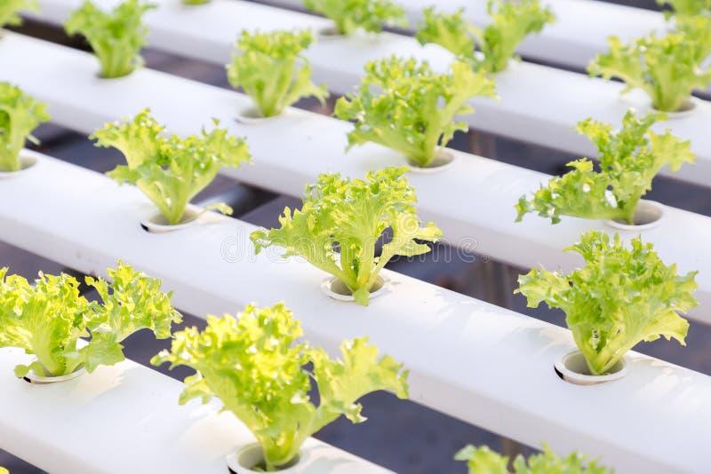 Hydrocultuurserre Organische groene groentensalade in hydrocultuurlandbouwbedrijf voor gezondheid, voedsel en landbouwconceptontw stock afbeelding