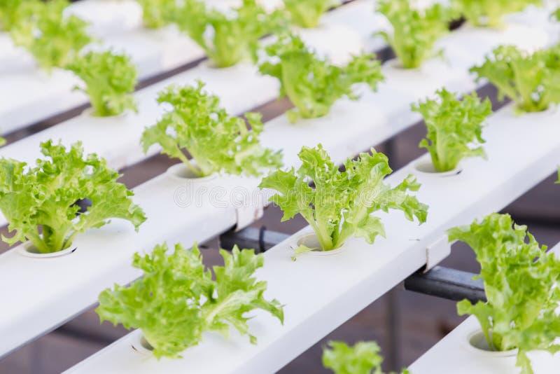 Hydrocultuurserre Organische groentensalade in hydrocultuurlandbouwbedrijf voor gezondheid, voedsel en landbouwconceptontwerp stock afbeeldingen