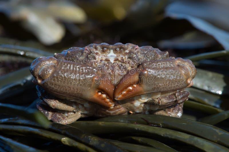Hydrophilus surcado de Xantho del cangrejo fotos de archivo
