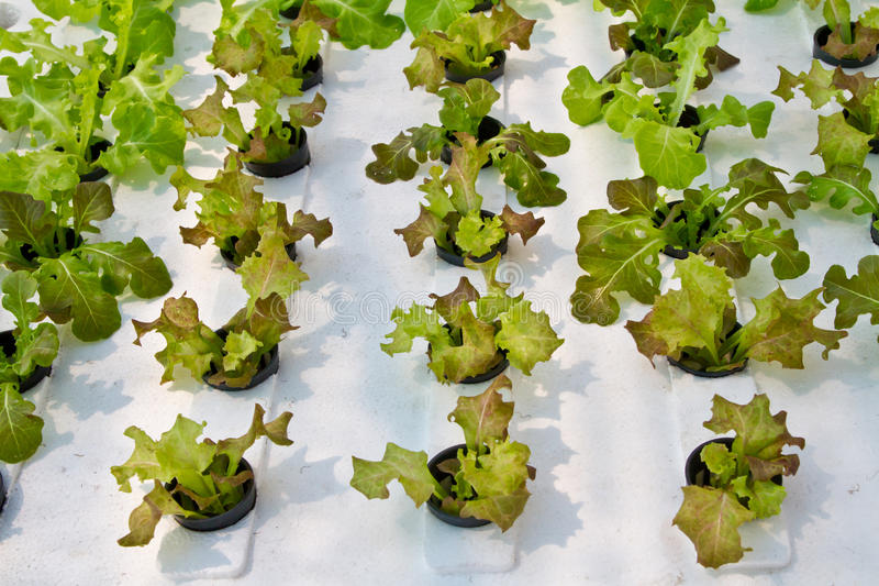 Hydrophonic种植园,莴苣 免版税库存照片