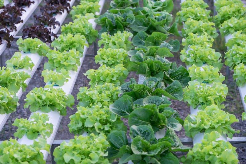 Hydroponic овощи стоковые фото
