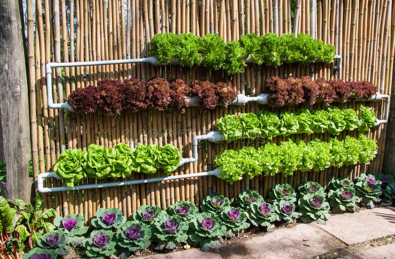 Hydroponic овощ салата стоковое изображение rf