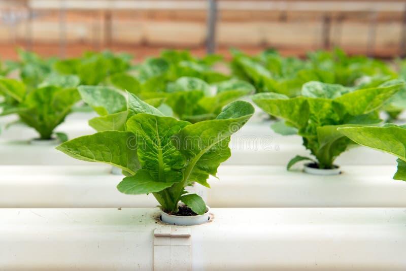 Hydroponic овощ стоковое фото rf