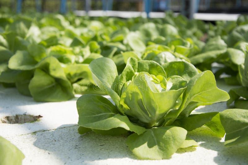 Hydroponic овощ стоковое изображение