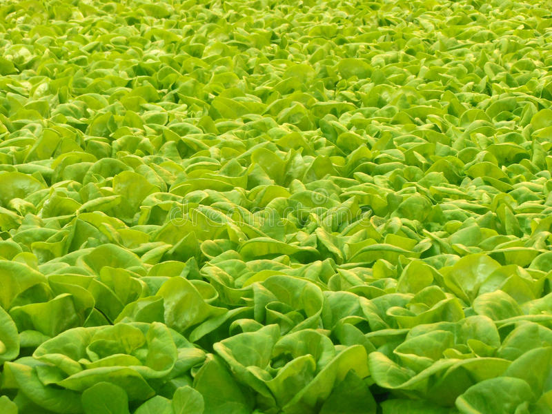 Hydroponic салат стоковая фотография