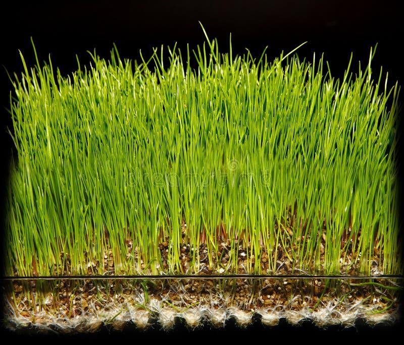 Hydroponic arbeta i trädgården gräs royaltyfri bild