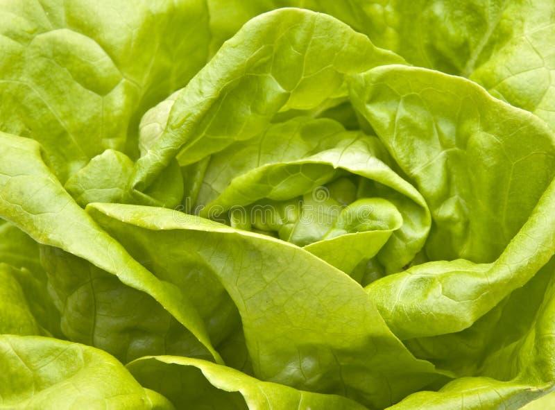 Hydroponic Bibb Lettuce royalty free stock photography