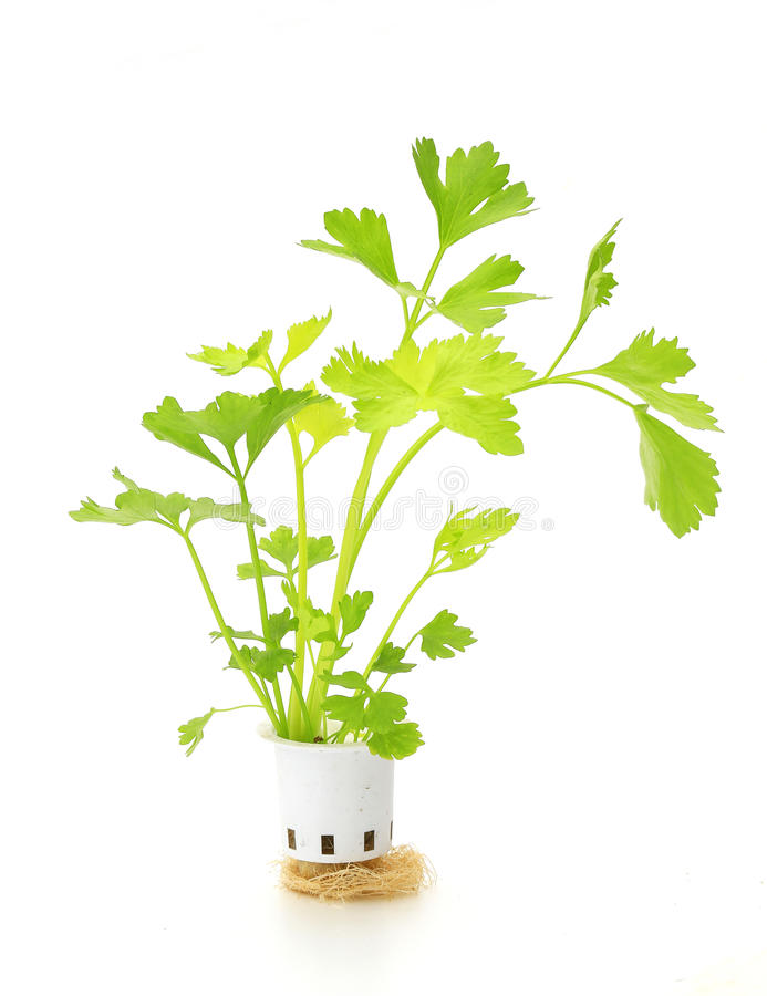 Hydroponic celery vegetable. On white background stock images