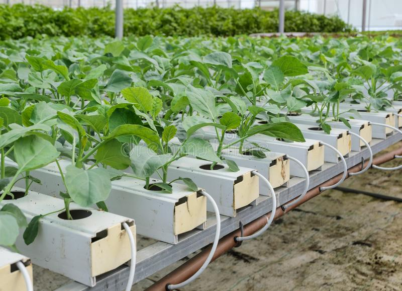 Hydroponic Chinese broccoli vegetables plantation. Organic Hydroponic Chinese broccoli or Chinese kale vegetables plantation in aquaponics system royalty free stock images