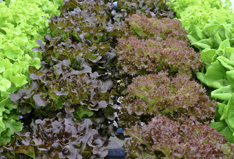 Download Hydroponic Fresh Lettuce Vegetable Stock Photo - Image: 36345204