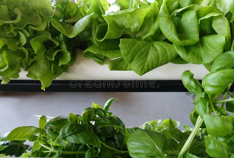 Hydroponic Gardening with Lettuce and Basil. Hydroponic Gardening - PVC Pipes Growing Lettuce and Basil royalty free stock photo
