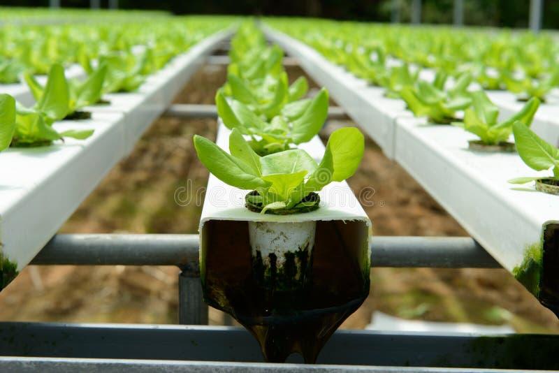 Hydroponic grönsak royaltyfri foto