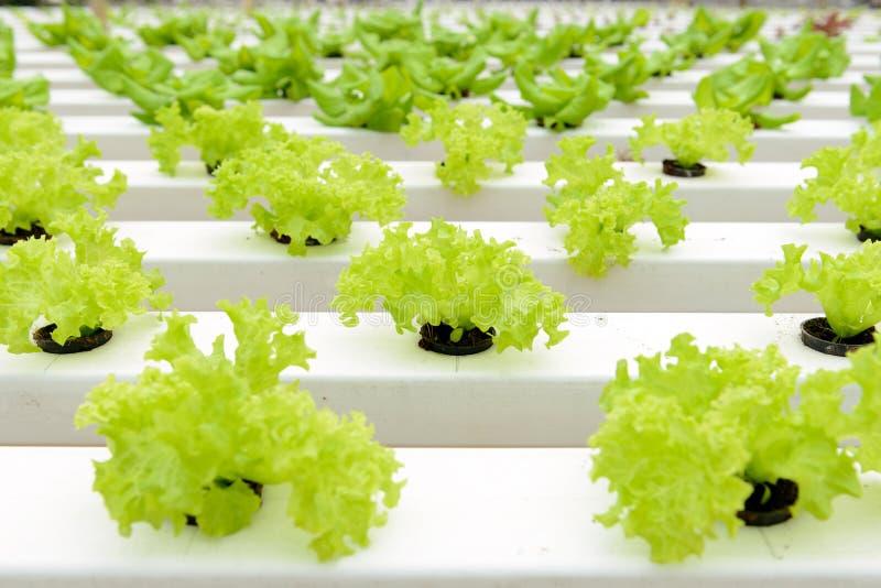 Hydroponic grönsaker royaltyfri bild