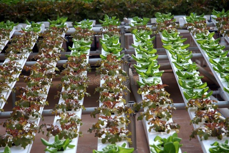 hydroponic grönsaker royaltyfria foton