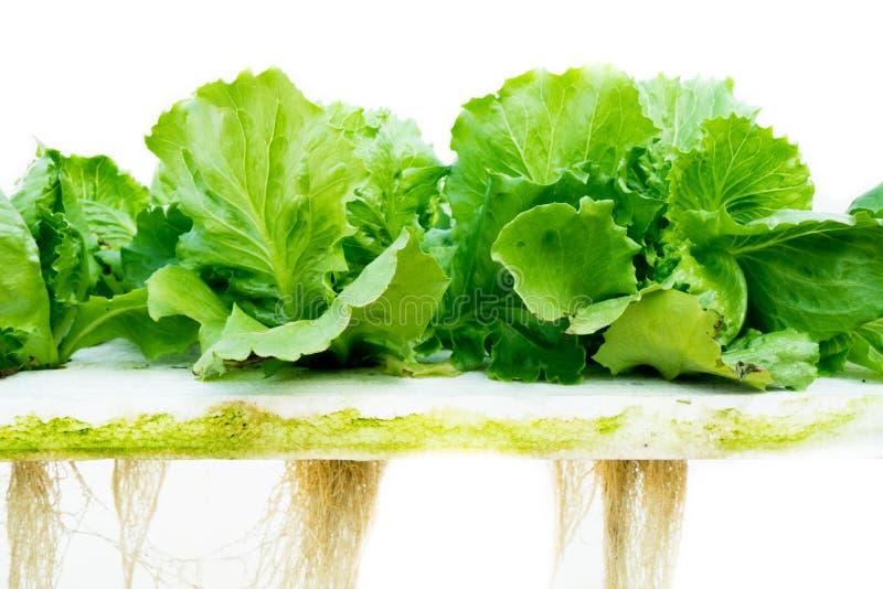 Hydroponic grönsallat royaltyfri fotografi