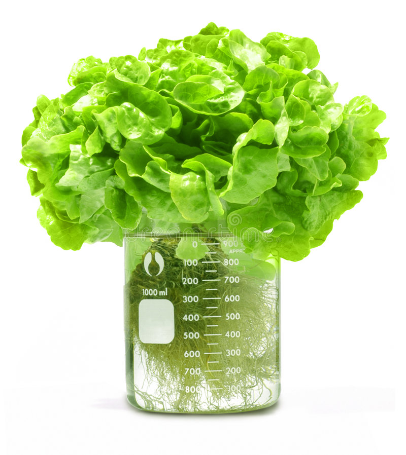 hydroponic grönsallatprovning för dryckeskärl arkivbilder