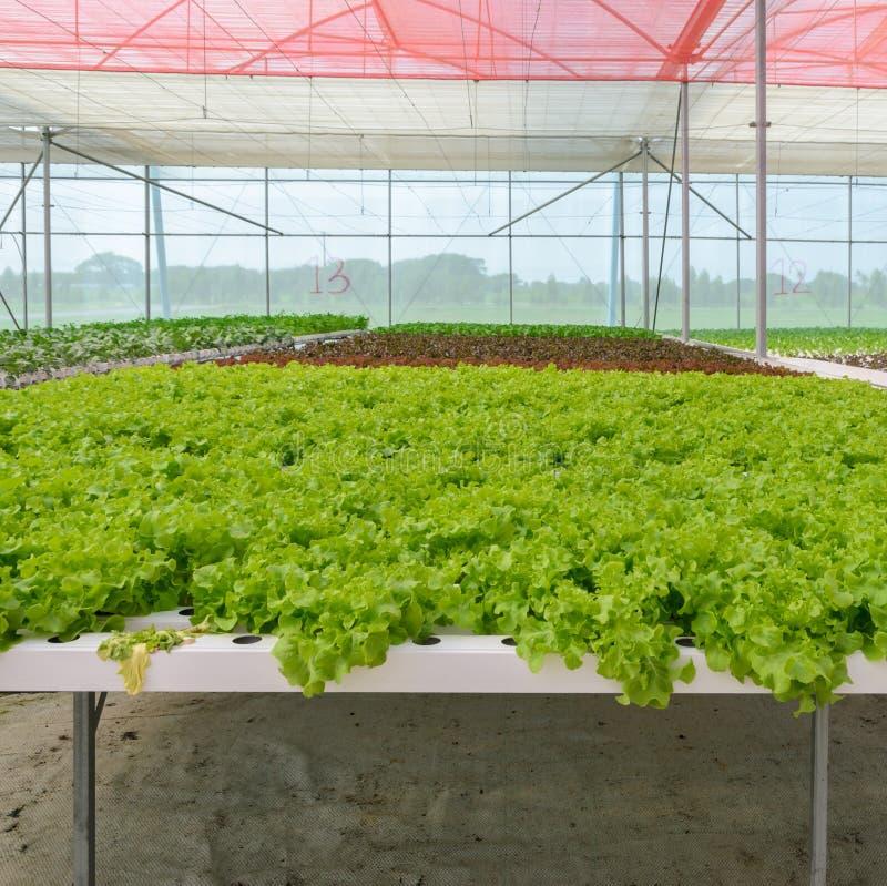 Hydroponic green leaf lettuce vegetables plantation. Organic Hydroponic green leaf lettuce vegetables plantation in aquaponics system royalty free stock images