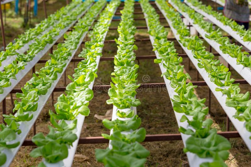 Hydroponic Green oak vegetables in plantation greenhouse. Farm royalty free stock images