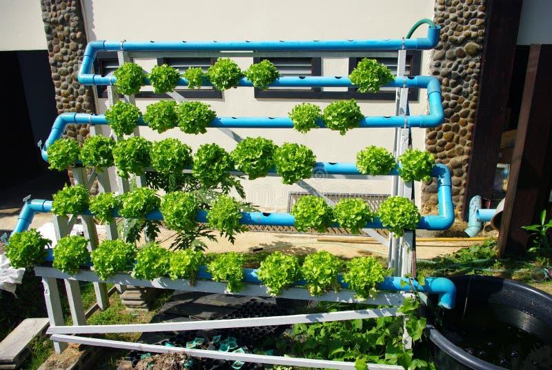 Hydroponic groente stock afbeeldingen